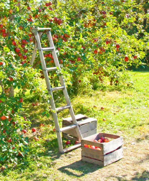 apples2